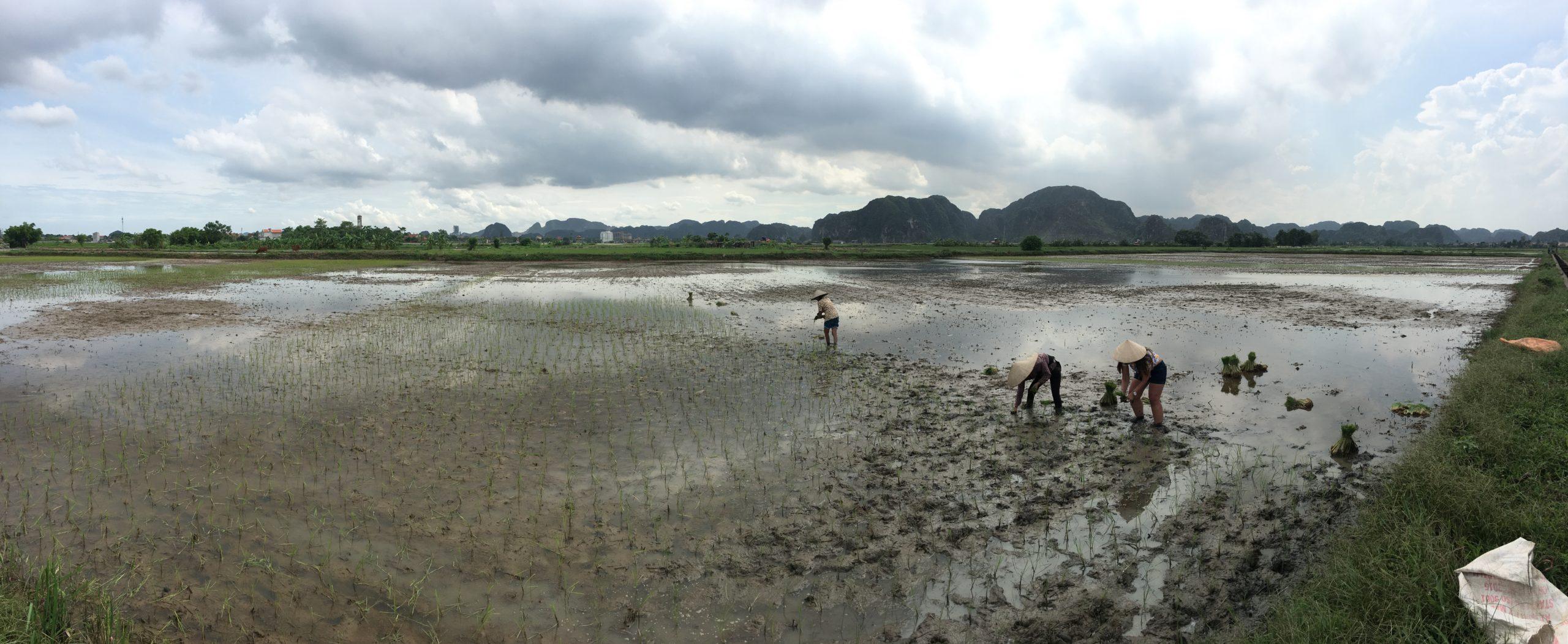 Cultivando arroz en los arrozales de Ninh Binh
